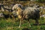 Thumbnail merino sheep Ovis aries on the pasture