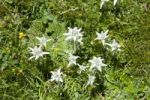 Thumbnail Alpine edelweiss (Leontopodium nivale) near the Chitu-La Pass near Samye, Himalaya Range, Central Tibet, Ue-Tsang, Tibet Autonomous Region, People's Republic of China, Asia