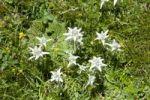 Thumbnail Alpine edelweiss (Leontopodium nivale) near the Chitu-La Pass near Samye, Himalaya Range, Central Tibet, Ue-Tsang, Tibet Autonomous Region, People's Republic of China, Asia