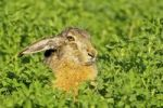Thumbnail Brown hare (Lepus europaeus) sitting in clover, Burgenland, Austria, Europe