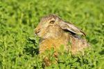 Thumbnail Brown hare (Lepus europaeus) sitting in clover, Burgenland, Austria, Europe