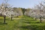 Thumbnail Flowering cherry trees, wild cherry, sweet cherry (Prunus avium), Wohlmannsgesees, municipality of Wiesenttal, Little Switzerland, Upper Franconia, Franconia, Bavaria, Germany, Europe