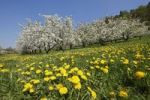 Thumbnail Flowering cherry trees, dandelions, Trubachtal valley, Little Switzerland, Upper Franconia, Franconia, Bavaria, Germany, Europe