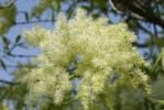 Thumbnail White panicles of a Manna Ash or South European Flowering Ash (Fraxinus ornus)