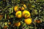 Thumbnail oranges on the tree, Altea, Costa Blanca, Spain