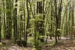 Thumbnail Beech forest in spring, Franconian Switzerland, Upper Franconia, Franconia, Bavaria, Germany, Europe