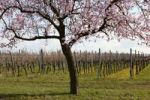 Thumbnail Blossoming almond tree (Prunus dulcis) in front of vine field, Southern Palatinate, Pfalz, Rhineland-Palatinate, Germany, Europe