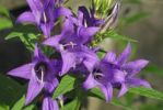 Thumbnail Nettle-leaved Bellflower (Campanula trachelium), Upper Bavaria, Germany, Europe