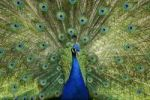 Thumbnail Indian Peafowl or Blue Peafowl (Pavo cristatus), male, displaying
