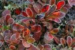 Thumbnail white frost on fall foliage in bright red Denali Nationalpark Alaska USA