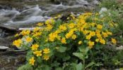 Thumbnail Kingcup or Marsh Marigold (Caltha palustris), Themenweg Wildwasser white water learning path, Mariensee, Lower Austria, Austria, Europe