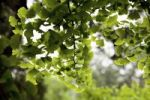 Thumbnail Branch of a Ginkgo tree (Ginkgo biloba), China, Asia