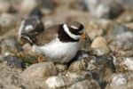 Thumbnail Ringed Plover (Charadrius hiaticula) sitting on its nest with two eggs and a hatched chick