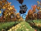 Thumbnail ripe grapes
