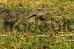 Thumbnail Nile crocodile, Crocodylus niloticus, Chobe River Botswana