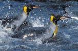 Thumbnail King Penguins (Aptenodytes patagonicus) swimming, South Georgia, South Atlantic, Antarctica