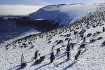 Thumbnail Chinstrap penguins (Pygoscelis antarctica) on Zavodovski Island, South Sandwich Islands, Antarctica