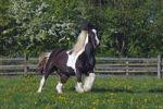 Thumbnail Irish Tinker horse (Equus przewalskii f. caballus), mare