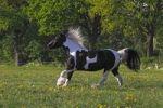 Thumbnail Irish Tinker horse (Equus przewalskii f. caballus), mare running
