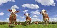 Thumbnail Fleckvieh Milchkühe auf einer Wiese, Wolken, Froschperspektive