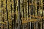 Thumbnail Autumnal forest, deciduous forest in fall