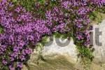 Thumbnail wild thyme - creeping thyme Thymus serpyllum