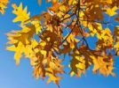 Thumbnail Autumn leaves of a Norway Maple (Acer platanoides)