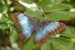 Thumbnail Peleides Blue Morpho (Morpho peleides), South America