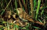 Thumbnail nightingale Luscinia megarhynchos