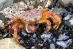 Thumbnail Crab, Sea of Okhotsk, Magadan area, Eastern Siberia, Russia