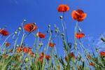 Thumbnail Poppies (Papaver rhoeas), poppy field near Weilheim, Upper Bavaria, Bavaria, Germany, Europe