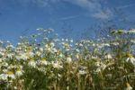Thumbnail Chamomile (Matricaria chamomilla), Allgaeu, Bavaria, Germany, Europe