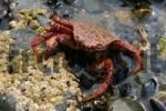 Thumbnail Crab, Sea of Okhotsk, Magadan area, Eastern Siberia, Russia