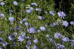 Thumbnail Chicory (Cichorium intybus), Allgaeu, Bavaria, Germany, Europe