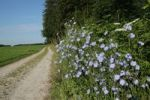 Thumbnail Chicory (Cichorium intybus) on a dirt road, Allgaeu, Bavaria, Germany, Europe