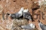 Thumbnail kittiwakes Rissa tridactyla at nest,