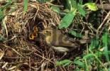 Thumbnail chiffchaff Phylloscopus collybita, flycatcher