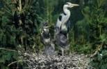 Thumbnail grey heron Ardea cinerea, heron