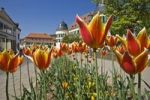 Thumbnail Castle with tulip blossom, Bad Bergzabern, Deutsche Weinstrasse, German Wine Road, Pfalz, Rhineland-Palatinate, Germany, Europe