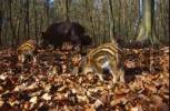 Thumbnail Wild boar