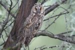 Thumbnail Long-eared Owl (Asio otus), perched on a branch with tree trunk at back, Apetlon, Lake Neusiedl, Burgenland, Austria, Europe