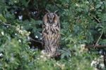 Thumbnail Long-eared Owl (Asio otus), perched in a thorn bush, Apetlon, Lake Neusiedl, Burgenland, Austria, Europe
