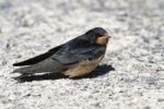Thumbnail Barn Swallow (Hirundo rustica), fledged young sitting on ground, Illmitz, Lake Neusiedl, Burgenland, Austria, Europe