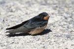Thumbnail Barn Swallow (Hirundo rustica), fledged young sitting on ground, Illmitz, Lake Neusiedl, Burgenland, Austria, Europe