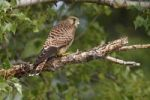 Thumbnail Common Kestrel (Falco tinnunculus), fledged bird perched on a branch, Apetlon, Lake Neusiedl, Burgenland, Austria, Europe