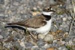 Thumbnail Little Ringed Plover (Charadrius dubius), on a nest with eggs on a gravel bank, Apetlon, Lake Neusiedl, Burgenland, Austria, Europe