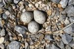 Thumbnail Little Ringed Plover (Charadrius dubius), nest with three eggs, Apetlon, Lake Neusiedl, Burgenland, Austria, Europe