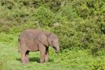 Thumbnail African elephant (Loxodonta africana) at the Addo Elephant Park, South Africa