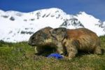 Thumbnail Marmots Marmota with Spring Gentians Gentiana verna