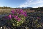 Thumbnail Blooming Broad-leaved Willowherb (Epilobium montanum) near subalpine creek, St. Elias Mountains behind, Kluane National Park and Reserve, Yukon Territory, Canada